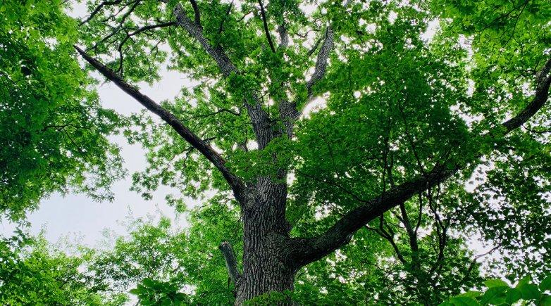Champion swamp white oak